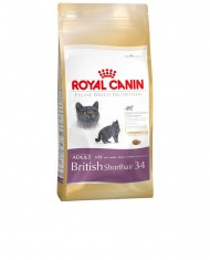 British Shorthair 34